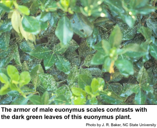 Thumbnail image for Euonymus Scale
